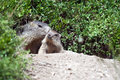 Alpine baby marmot Royalty Free Stock Image