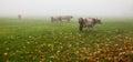 Alpine Cattle III Royalty Free Stock Photo
