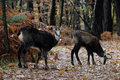 Alpine chamois mammal rupicapra windlife Royalty Free Stock Photography