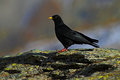 Alpine Chough, Pyrrhocorax graculus, black bird sitting on the larch stone, animal in the mountain nature habitat, Gran Paradiso, Royalty Free Stock Photo