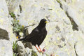 Alpine chough or yellow billed pyrrhocorax graculus Stock Images