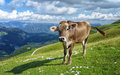 An alpine cow a on top of monte baldo part of the italian alps by lake garda in northern italy Stock Image