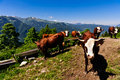 Alpine cows herd drinking water Royalty Free Stock Photo