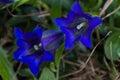 Alpine flora, Slovenia