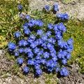 Alpine flower Eritrichium nanum, arctic alpine forget-me-not, Aosta valley, Italy.