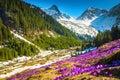 Alpine flowery glade with purple crocus flowers, Carpathians, Romania Royalty Free Stock Photo