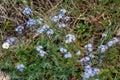Alpine forget-me-not or Myosotis alpestris light blue spring flowers