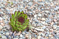 Alpine Garden Succulent Royalty Free Stock Photography