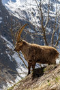 Alpine horned mammal named steinbock or capra ibex in mountain italian Royalty Free Stock Images