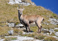 Alpine Ibex Stock Photography