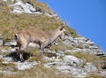 Alpine Ibex Royalty Free Stock Images
