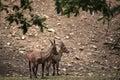 Alpine ibex capra ibex also known as the steinbock or bouquetin wild life animal Royalty Free Stock Photo