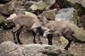 Alpine ibex capra ibex also known as the steinbock or bouquetin wild life animal Stock Photos