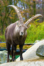 Alpine ibex capra ibex the also known as the steinbock is a species of wild goat that lives in the mountains of the european alps Royalty Free Stock Image