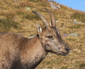 Alpine ibex capra ibex close up of a young in the italian alps Royalty Free Stock Photos