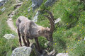 Alpine ibex capra ibex eating grass lat is a wild species of wild goat that lives in the mountains of the european Stock Photo