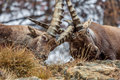 Alpine ibex capra ibex males fighting the also known as the steinbock or bouquetin is a species of wild goat that lives in the Royalty Free Stock Images