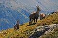 Alpine Ibex family Royalty Free Stock Photo