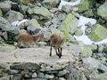 Alpine ibex small baby in the wild nature on rocks Royalty Free Stock Photo