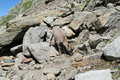 Alpine ibex in the wild nature on rocks Royalty Free Stock Photo