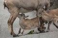 Alpine ibex x capra ibex ibex x also known as the steinbock or bouquetin female feeding its calf wildlife animal Royalty Free Stock Images