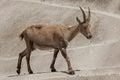 Alpine ibex x capra ibex ibex x also known as the steinbock or bouquetin female wildlife animal Stock Image