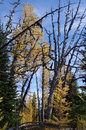 Alpine Larches Royalty Free Stock Photo
