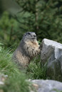 Alpine marmot marmota marmota in france Stock Photos