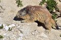 Alpine marmot marmota marmota rock french alps savoie department la plagne Royalty Free Stock Photos