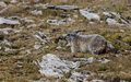 Alpine marmot marmota marmota well in the natural environment in the south french alps Stock Photos