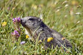 Alpine marmot near flower Royalty Free Stock Photos