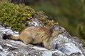 Alpine marmot on rock Royalty Free Stock Image