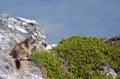 Alpine marmot on rock marmota marmota in the french alps savoie department at la plagne Stock Images