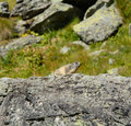 Alpine marmot in the wild in the high mountains Royalty Free Stock Images