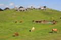 Alpine meadow pasture slovenia flock and herder dwellings velika planina pastureland scenery kamnik alps Royalty Free Stock Image