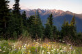 Alpine Meadow Wildflowers Hurricane Ridge Olympic Mountains Royalty Free Stock Photo