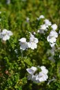 Picture : Alpine mint bush raspberries with