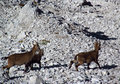 Alpine mountain goats, Alpine ibex, in the wild nature among rocks Royalty Free Stock Photo