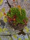 Alpine mountain vegetation close up background plant Pinus mugo textures and grass. Royalty Free Stock Photo