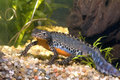 Alpine newt Royalty Free Stock Photo