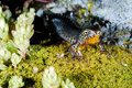 Alpine newt mesotriton alpestris in a mountains of madrid province spain on moss Royalty Free Stock Photography