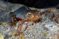Alpine newt Mesotriton alpestris near Cotos, Madrid, Spain Royalty Free Stock Photo