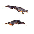 Alpine newts triturus alpestris on white background Stock Photos