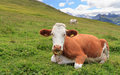 Alpine pasture with cow Stock Images