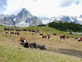 Alpine pasture herd of cows at summer in aosta valley Royalty Free Stock Photography