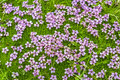 Alpine rock jasmine wildflower bed of on green grass in area of the rocky mountains fagaras transylvania romania Royalty Free Stock Images