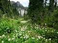 Alpine Scene with Avalanche Lilies Royalty Free Stock Photo