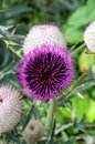 Alpine thistle a beautiful purple flower Stock Image