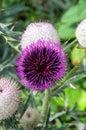 Alpine thistle a beautiful purple flower Stock Image