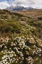 Alpine vegetation at Mount Ruapehu Royalty Free Stock Photo